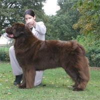 picture of brown newfoundland dog Stelamah Dream Boy at Rehovot JW