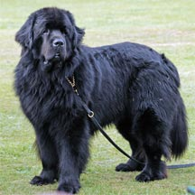 picture of black Newfoundland dog standing, Sheenmarie Right On Time