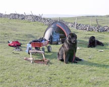 picture of 2 newfoundland dogs with cart and tent