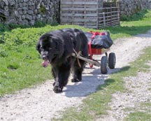 picture of black newfoundland dog hauling a cart in the Yorkshire Dales