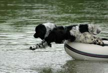 Picture of Landseer Newfoundland called Hudson jumping from boat into water