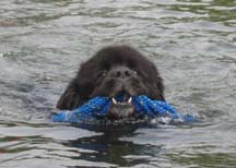 Picture of Belle a black newfoundland dog swimming whilst carrying a coil of rope