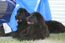 picture of two black newfoundland dogs at rest